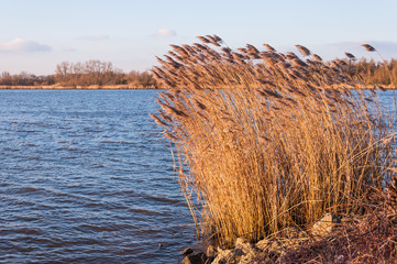 Golden reeds waving in the late afternoon sun