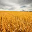 wheat field scene