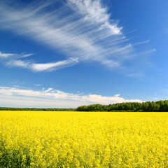 rural landscape. Yellow rapeseed field in Latvia