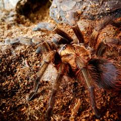 american desert tarantula Phormictopus platus