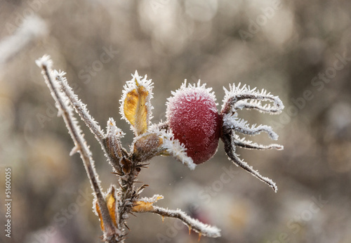 Closeup of a red rosehip in winter