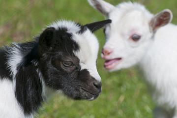 Just born white goatling nannie