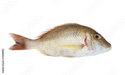 Snapper fish isolated on white
