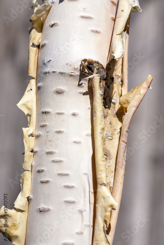 Foto op Plexiglas Berkbosje Close-up of a birch tree trunk