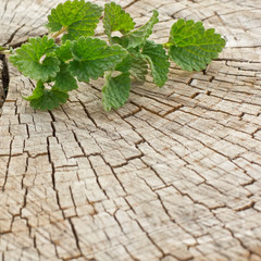 Lemon Balm  on wooden background