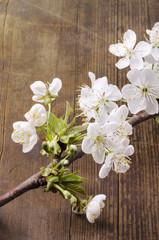 ramoscello di ciliegio in fiore