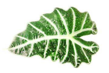 green leaf Alocasia (Schott) isolated on white