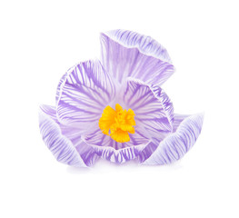 Spring crocus flower isolated on white background