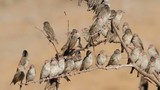 Red-billed Queleas on tree branches, Etosha National Park