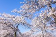 Amalanchier blossom trees