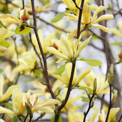yellow flowers. magnolia tree blossoms