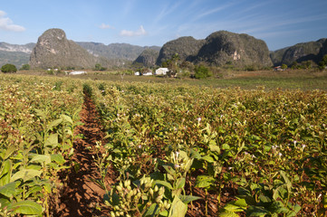 Tobacco plantation with mogotes, VInales, Cuba