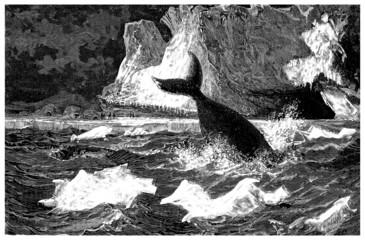 Whale - Baleine Arctique - Wahlfisch