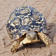 leopard turtle in track of car