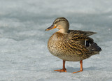 Mallard on the ice