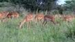 Impala Herde beim Fressen