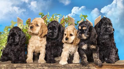 family american Cocker Spaniel dogs