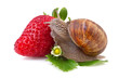 snail and strawberry on white background