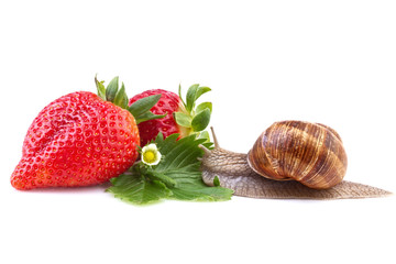 snail creeping on ripe strawberry