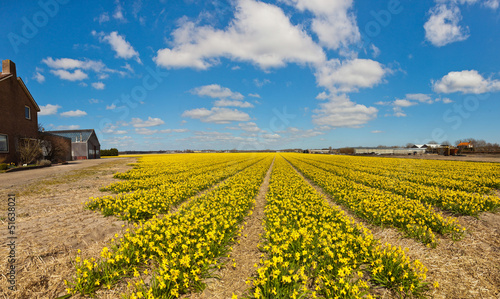 Panorama of field of yellow daffodils with blue cloudy sky. The