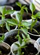 paprika seedlings