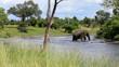 Elefant überquert einen Fluss in Afrika