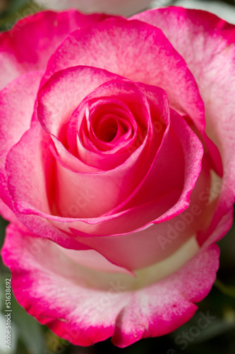 Beautiful pink rosesbud