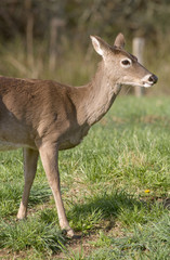 White Tailed Deer in Field