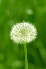 beautiful dandelion in nature. macro