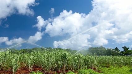 サトウキビ畑とスプリンクラー