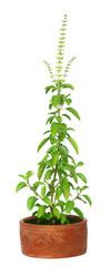 Medicinal holy basil or tulsi plant