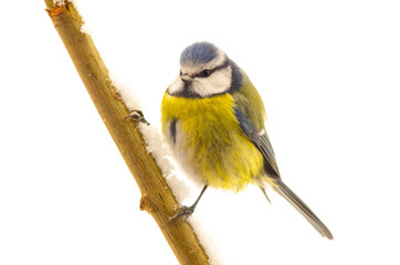 Bird Blue Tit (Parus caeruleus)
