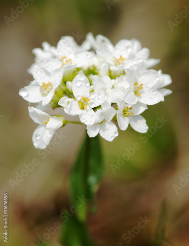 Small white dewy flowers