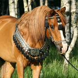 Chestnut arabian stallion with perfect harness
