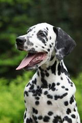 Portrait of smiling dalmatian puppy in the garden