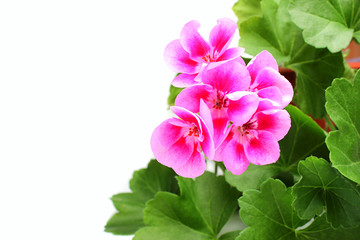Pink geranium - pelargonium with leaves.