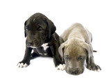 Dog puppys  on white background