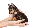 little puppy sitting on the palm of a woman. isolated on white