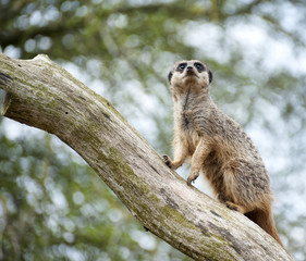 Meerkat on lookout on tree