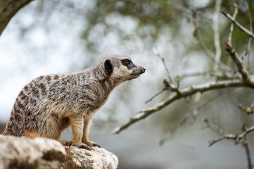 Meerkat on lookout on tree