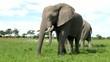 Friedliche Elefanten beim Fressen in freier Wildbahn