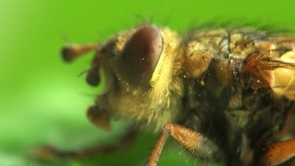 macro Housefly in amazing detail