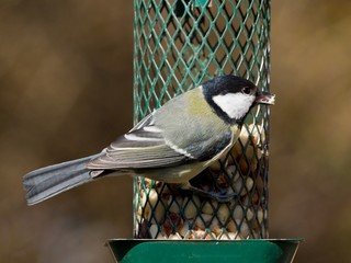 Great tit with open beak sitting on a peanut feeder