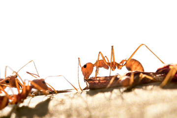 Red ant in thailand