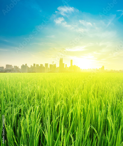landscape view over rice field plantation farming