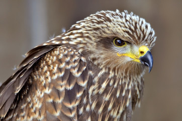 Portrait of Black Kite (Milvus migrans)