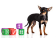 Chihuahua , 5 months old. chihuahua dog with  dice isolated on w