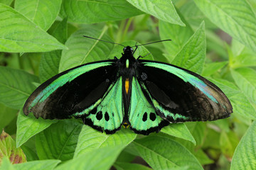 Green butterfly on leaves