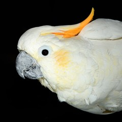 white parrot on black background