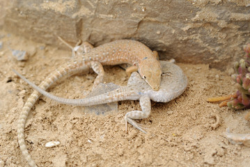 Desert lizards.